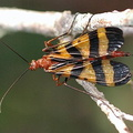 Scorpionfly - Mecoptera.
