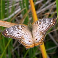 Butterfly - Lepidoptera