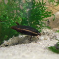 Cybister fimbriolatus, a predaceuos diving beetle
