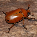 Pelidnota punctata, the Grape vine beetle